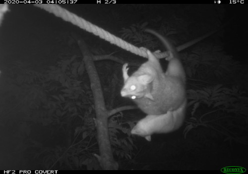 Coppery Brushtail possum young